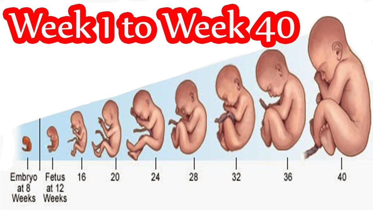 صورة حاسبة الحمل بالاشهر , تطبيقات لحساب الحمل