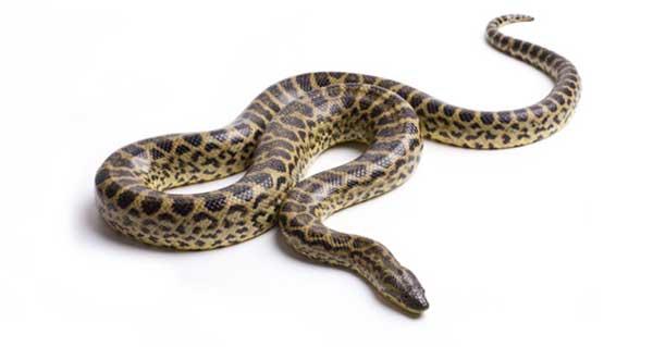 صورة رؤية الثعبان في المنام وقتله , رؤية الثعابين فى المنام وقتلها