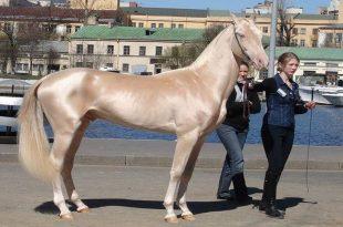 صورة اجمل خيول في العالم , صور اروع حصان في العالم
