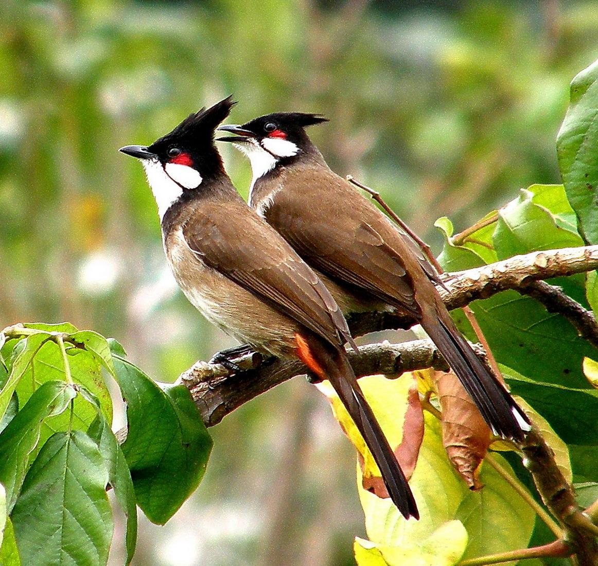 صور صور بلابل , اجمل صور لطائر البلبل الجميل؟