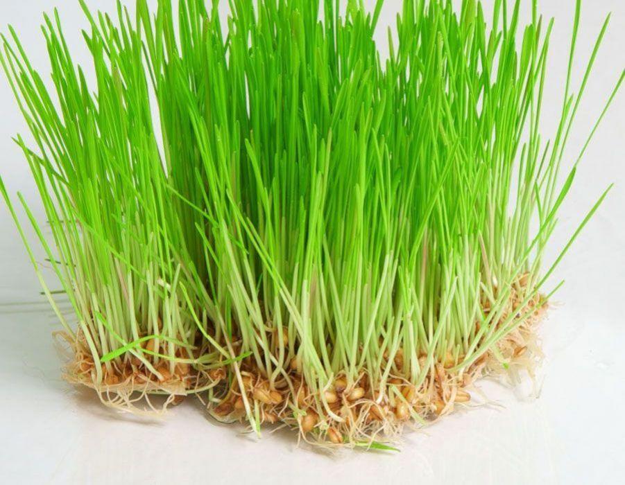 صورة عشبة القمح , فوائد عشبة القمح