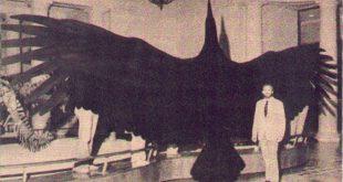 اكبر طائر في العالم , شاهد اكبر طيور العالم مدهش جدا