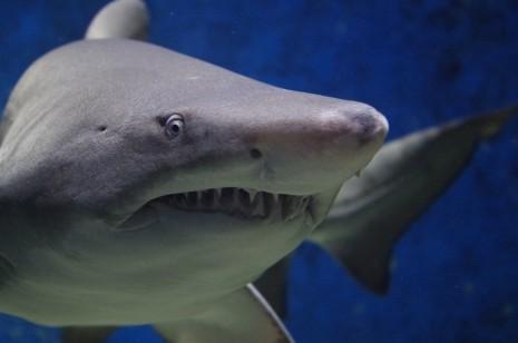 صورة تفسير الاحلام سمك القرش , رايت فى حلمى سمكة قرش