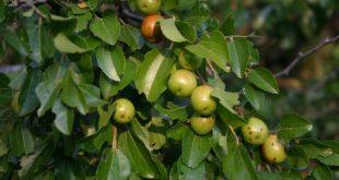 صورة فوائد ورق السدر , الفوائد الرائعو لنبات السدر