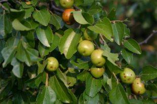 صور فوائد ورق السدر , الفوائد الرائعو لنبات السدر