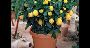 صورة طريقة زراعة الليمون , احب الليمون و اريد زراعته