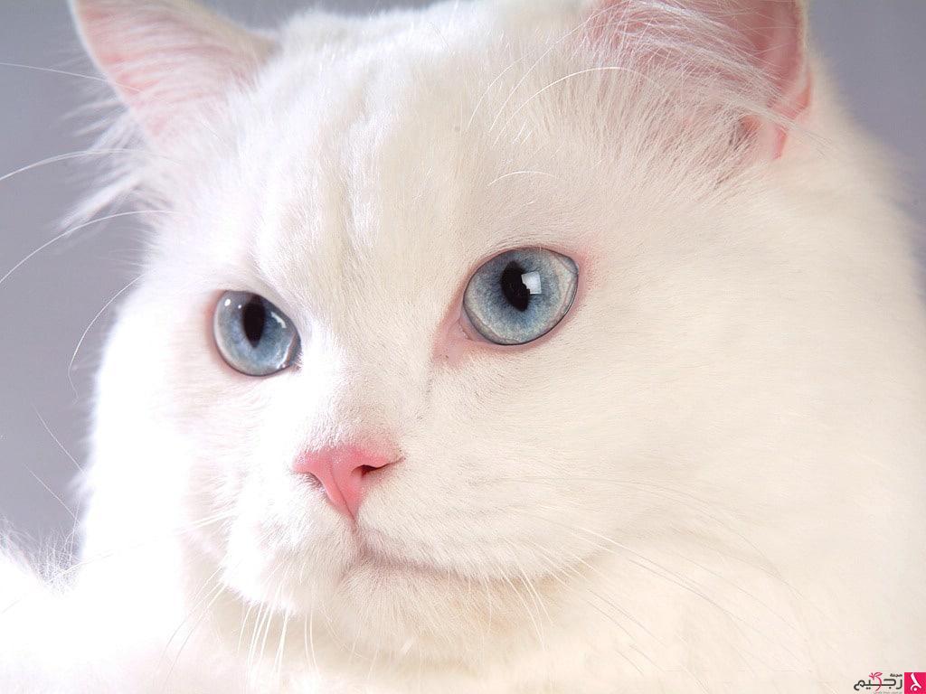 صور اجمل صور القطط , صورة قطة كيوت