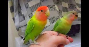 صورة اكل طيور الحب , طائر الحب الجميل