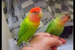 صور اكل طيور الحب , طائر الحب الجميل