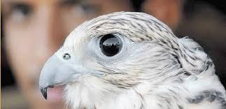 صور اسماء طيور جارحة , ما هي الطيور الجارحة