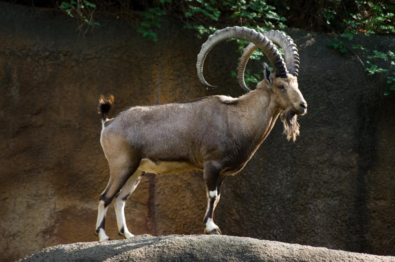 صورة الحيوانات المهددة بالانقراض في بلادنا والجهود المبذولة للحفاظ عليها , اهم الحيوانات التى ستنقرض