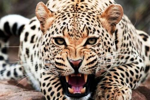 صورة صور حيوانات مفترسة , حيوان متوحش
