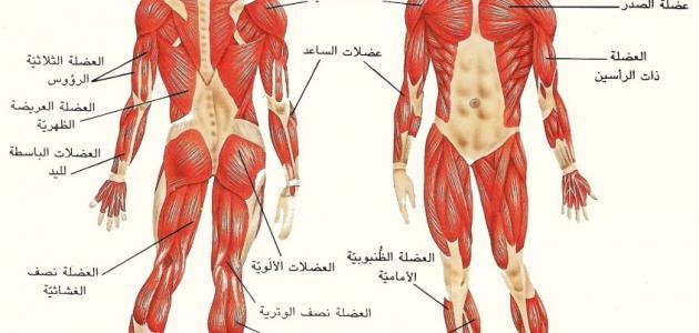 صورة كم عدد عضلات جسم الانسان , يحتوي البدن على الكثير من العضلات