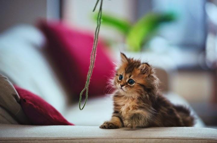 صورة صور قطط صغيرة , القطط الطف الكائنات