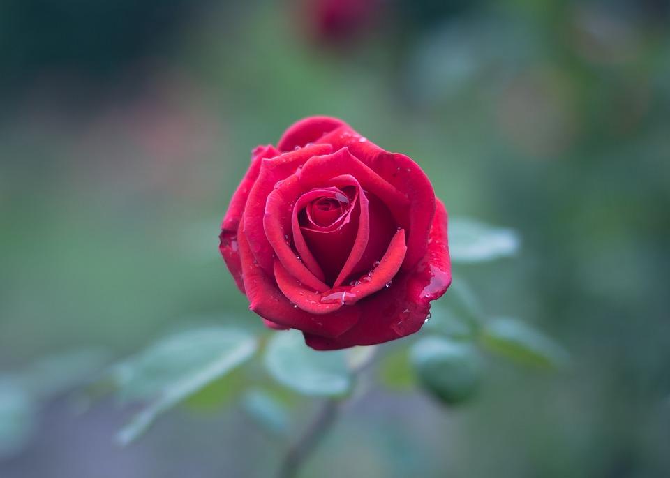 صورة صور ورود طبيعيه , الورد الطبيعي مااحلاه