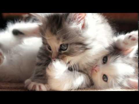 صور صور قطط شيرازي , اجمل قطط شيرازي