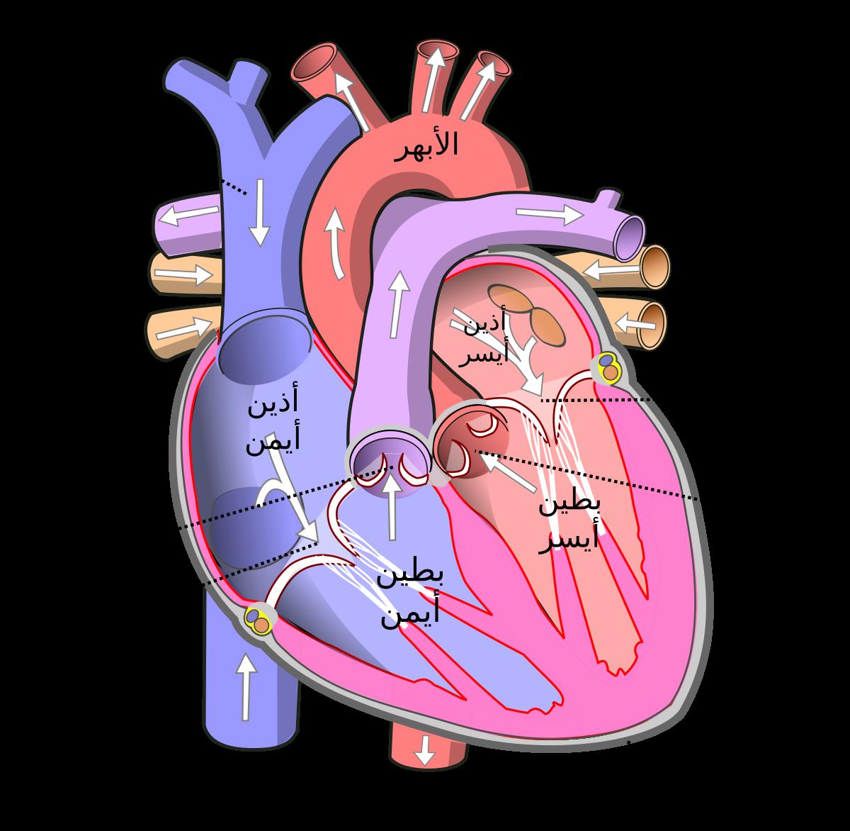 صورة صور قلب الانسان , تعربف قلب الانسان بطريقة علمية