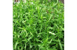 صورة ما هو الطرخون , تعرف على نبات الترخون