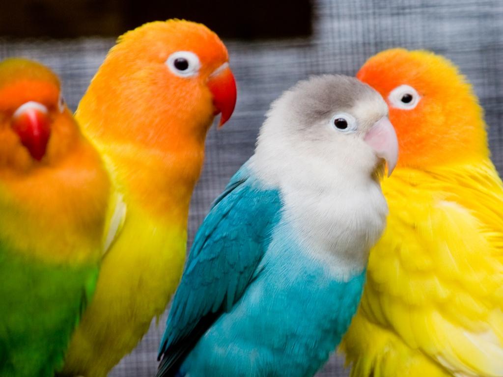 اسماء طيور الحب انواع عصافير الحب المميز