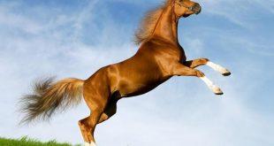 صورة خيول عربية , خيل اصيل