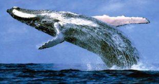 الحوت الازرق , اكبر حوت في العالم